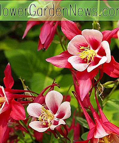 Aquilegia 'Crimson Star' (Columbine)