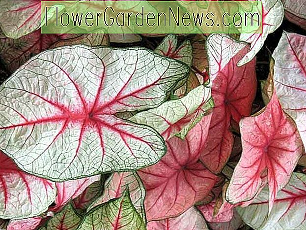 Caladium 'White Queen', Engelsflügel 'White Queen', Weiße Königin Caladium, Schattenpflanze, Rosa Blätter, Rosa Laub, Fancy Caladium, Fancy-Blatt Caladium