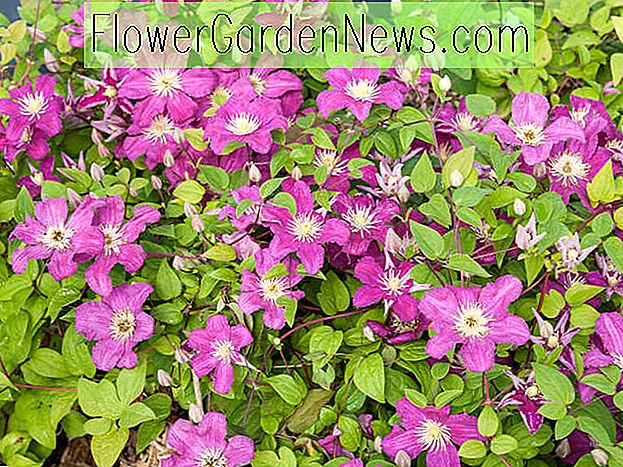 Clematis 'Barbara Harrington' (Late Large-Flowered Clematis)