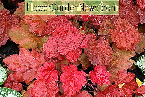 Heuchera 'Autumn Leaves', Koralle Glocken 'Autumn Leaves', Alum Wurzel 'Autumn Leaves', Korallenblüten 'Autumn Leaves', Schattenpflanzen, Immergrüne Pflanzen, Red Heuchera
