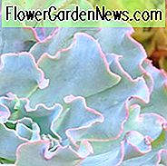 Echeveria 'Lady Wassermann', 'Lady Aquarius' Echeveria, rosa Echeveria, Purple Echeveria, rosa Sukkulenten, lila Sukkulenten, gekräuselte Echeveria, Frilled Echeveria