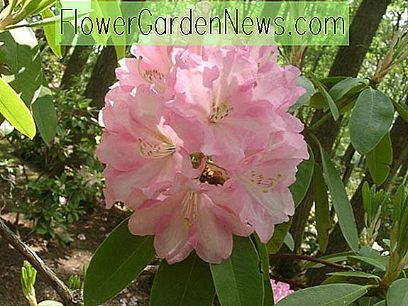 Rhododendron 'Wheatley'