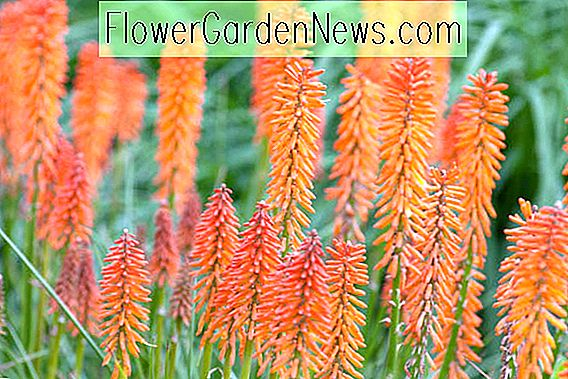 Kniphofia 'Elvira' (Red Hot Poker)
