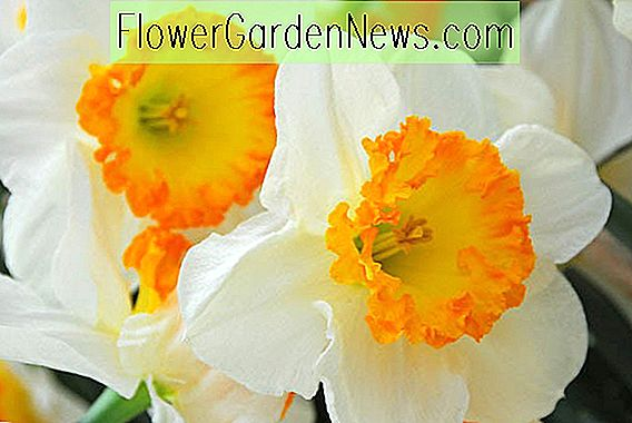 Narcissus 'Accent' (Narcissus mare)