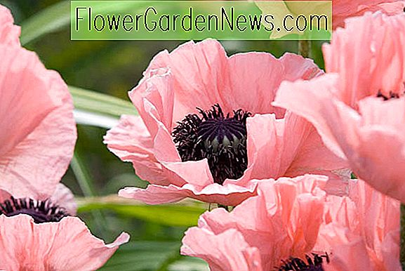 Papaver orientale 'Turkish Delight' (Oriental Poppy)