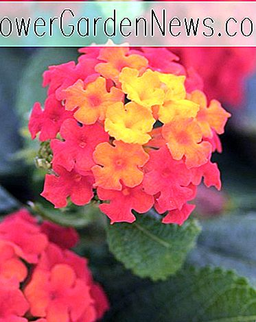 Lantana Little Lucky ™สีแดง