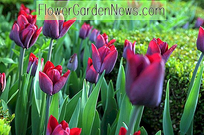 Tulipa 'Greuze' (Single Late Tulip)