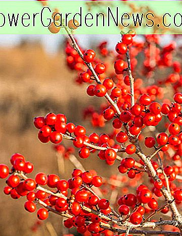 Ilex verticillata 'Red Sprite' (Winterberry)