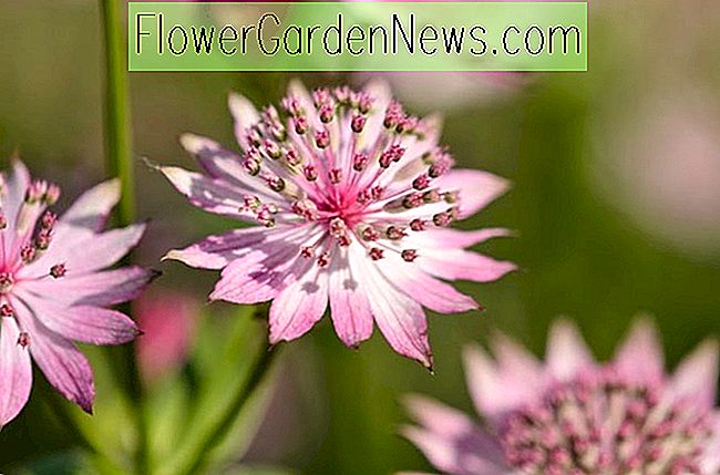 Astrantia major 'Roma' (Groot oudkruid)