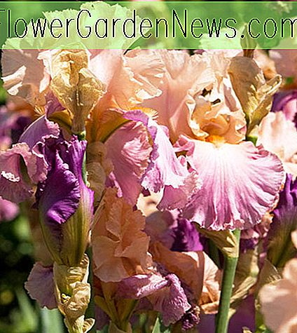 Iris 'Sweet Musette' (Bearded Iris)