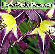 Hemerocallis Planet Max, Taglilie Planet Max, Tag Lily Planet Max, Planet Max Taglilie, Taglilien, Tag Lilien, Spider Daylilies, Spinne Taglilie, lila Taglilie, lila Taglilie, lila Hemerocallis