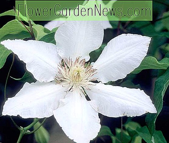 Clematis 'Hyde Hall' (Early Large Flowered Clematis)
