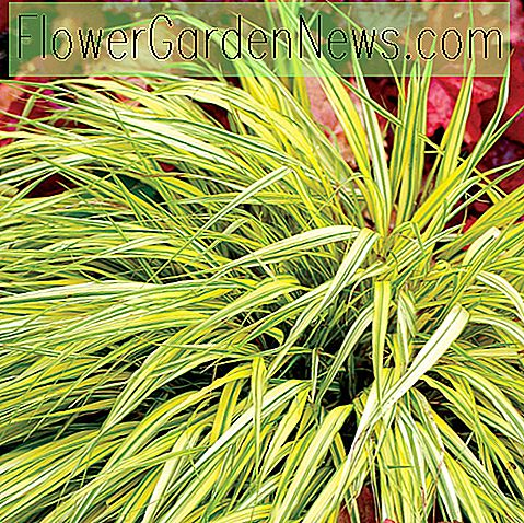 Hakonechloa macra 'Stripe It Rich' (Hakone Grass)