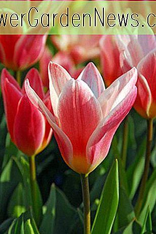 Tulipa Hearts Delight Tulipe De Kaufmanniana Conseils Utiles