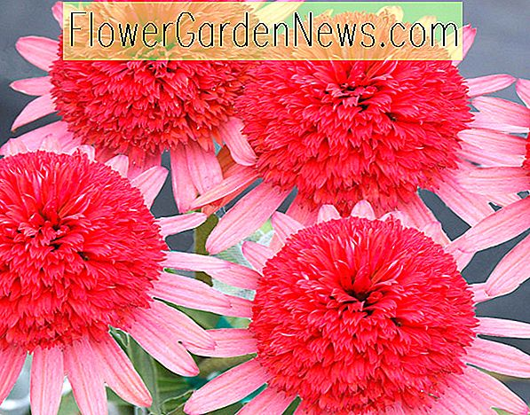 Echinacea 'Secret Passion' (Sonnenhut)