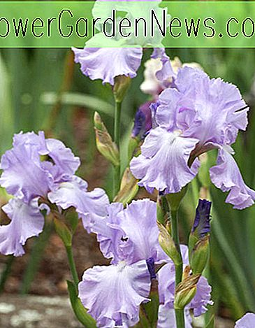Iris 'Mary Frances' (Bearded Iris)