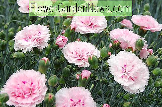 Dianthus 'Candy Floss' (roze)