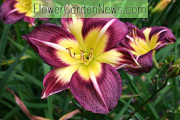 Hemerocallis 'Night Beacon' (Reblooming Daylily)