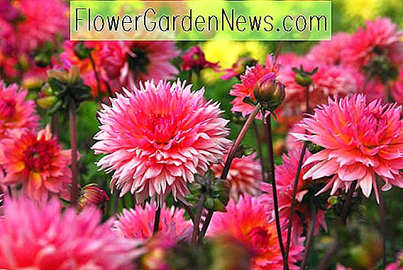 Cactus Dahlia: Summer Bulb Of The Year!