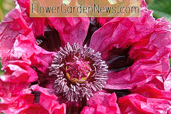 Papaver orientale 'Patty's Plum' (Oriental Poppy)