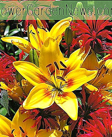 Lilium 'Grand Cru' (Asiatisk Lily)