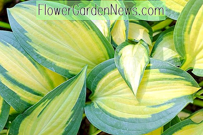 Hosta 'Orange Marmalade' (Lait Plantain)
