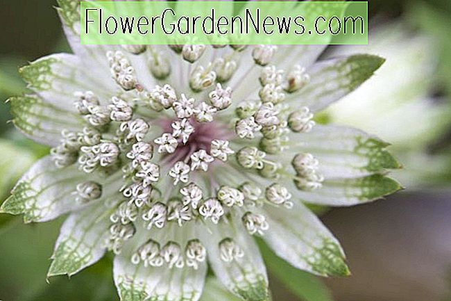 Astrantia major 'Alba' (groot masterkruid)