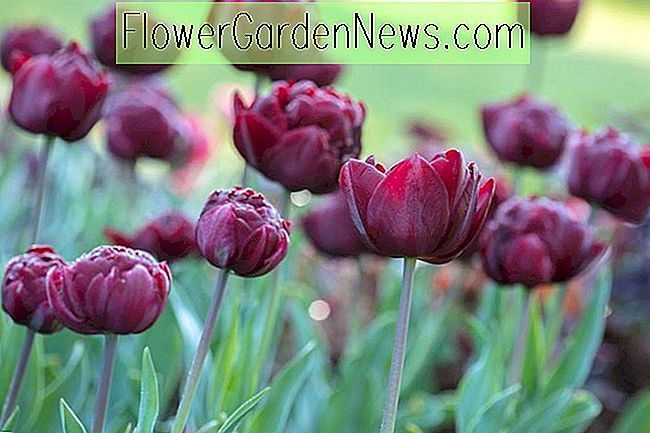 Tulipa 'Uncle Tom' (Double Late Tulip)
