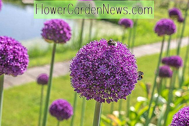 Allium 'Ambassador' (Oignon Ornemental)
