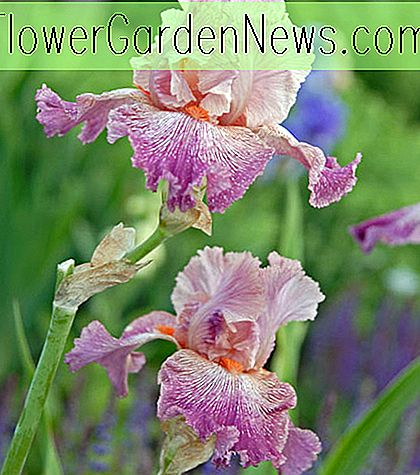 Iris 'Anything Goes' (Bearded Iris)