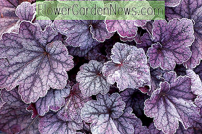 Heuchera 'Sugar Plum' (Coral Bells)