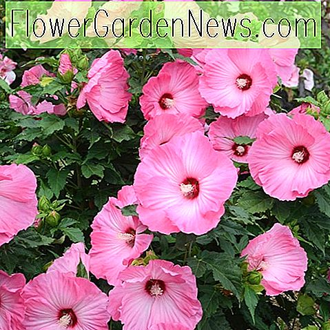 Hibiscus 'Airbrush Effect', Rose Mallow 'Airbrush Effect', busk Althea 'Airbrush Effect, Blomstrende busk, Pink blomster, Pink Hibiscus