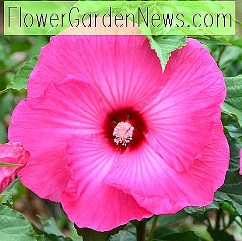Hibiscus 'Airbrush Effect' (Rose Mallow)