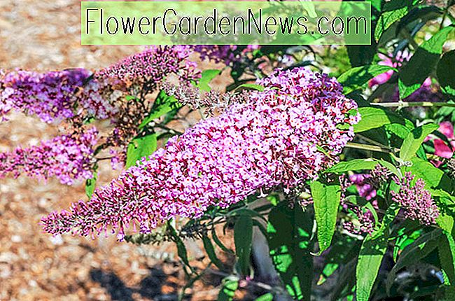 Buddleja 'Pink Delight' (Schmetterlingsbusch)
