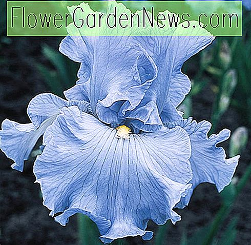 Iris 'Over The Clouds' (Bearded Iris)