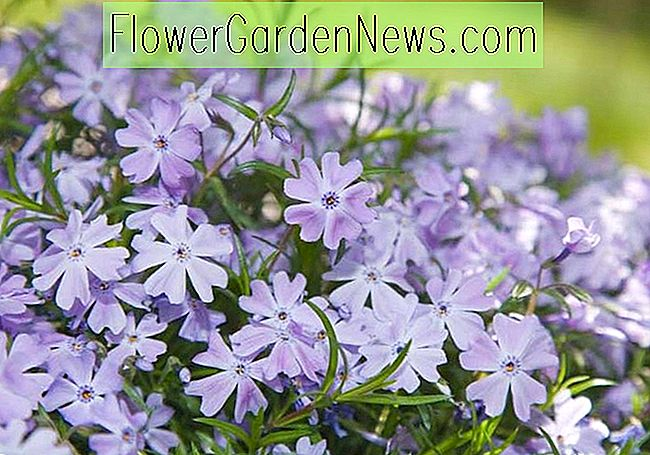 Phlox subulata 'Blue Emerald' (Creeping Phlox)