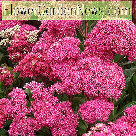 Sedum 'Mr Goodbud' (Stonecrop)