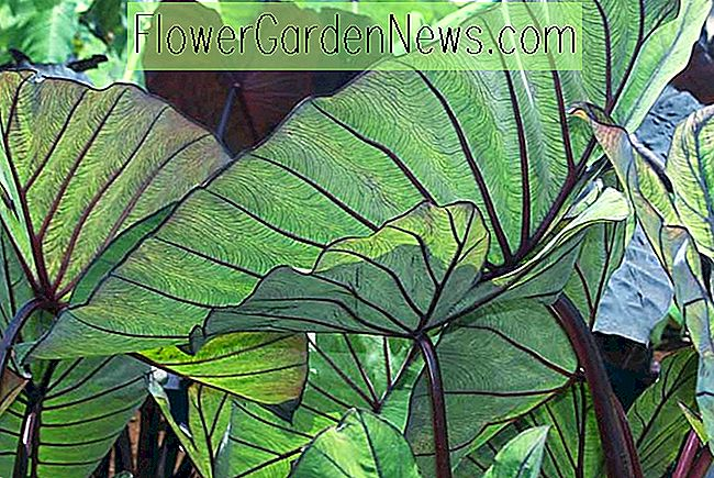 Colocasia esculenta 'Blue Hawaii' (Taro)