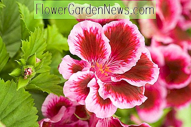 Pelargonium 'Fareham' (Regal Pelargonium)