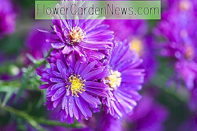 Aster novae-angliae 'Purple Dome' (New England Asters)