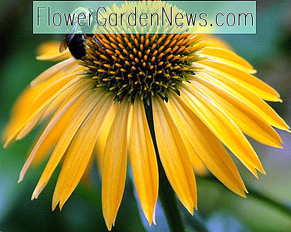 Echinacea 'Harvest Moon' (Coneflower)