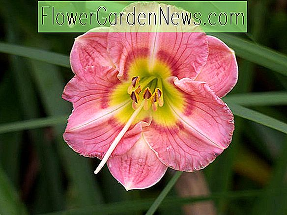 Hemerocallis 'Wineberry Candy' (Taglilie)