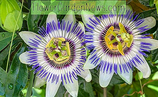 Passiflora caerulea (Blue Passion Flower)