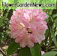 Rhododendron 'Wheatley', 'Wheatley' Rhododendron, Midseason Rhododendron, immergrüner Rhododendron, duftender Rhododendron, rosa Rhododendron, rosa blühender Strauch