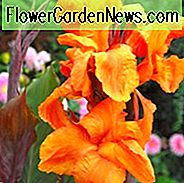 Canna 'Wyoming', Indian Shot 'Wyoming', Kana Lilien Wyoming, Canna Lilienzwiebeln, Canna Lilien, Orange Canna Lilien