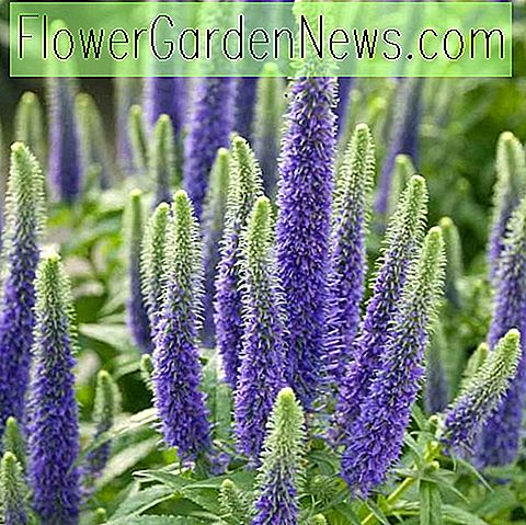 Veronica 'Sunny Border Blau' (Spike Speedwell)