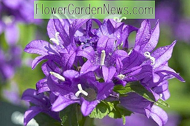 Campanula glomerata 'Superba' (Clustered Bellflower)