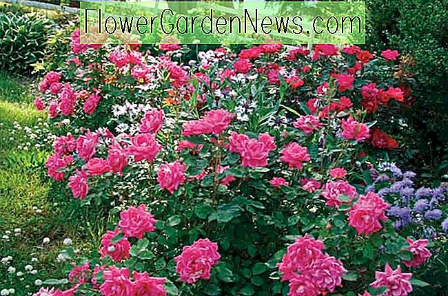 Roos 'Pink Double Knock Out', Rosa 'Pink Double Knock Out', 'Pink Double Knock Out' Rose, Struikrozen, Rozenstruiken, Tuinrozen, Rosa 'Radtkopink', Roze Rozen, Roze bloemen