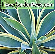 Agave attenuata 'Lichtstrahl', Agave 'Lichtstrahl', Fox Tail Agave 'Lichtstrahl', Bunte Agave,