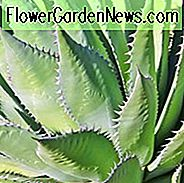 Agave Shawii, Shaw Agave, Century Plant Shaw Agave, Küsten Agave, Grau Agave, Dürre tolerant Pflanze
